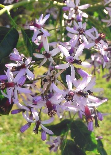 TROPICA - Lilas de Perse (Melia azedarach) - 20 graines- Méditerranée