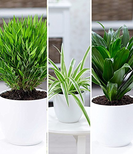 BALDUR-Garten Zimmerpflanzen-Mix Grünes Trio, 3 Pflanzen Luftreinigende Zimmerpflanzen je 1 Pflanze Zimmerbambus, Chlorophytum variegatum und Dracena compacta