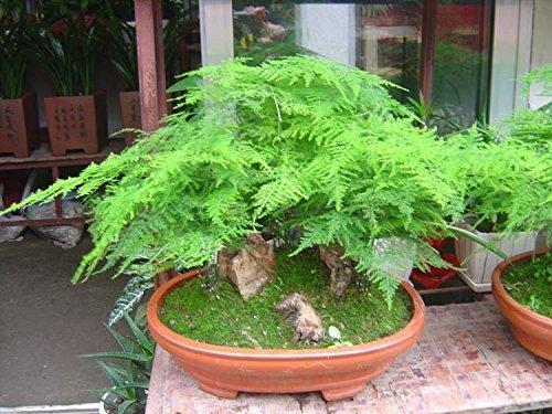graines de purification de l'air phoenix de bambou salons plantes d'intérieur fleurs Miniascape 50 grains