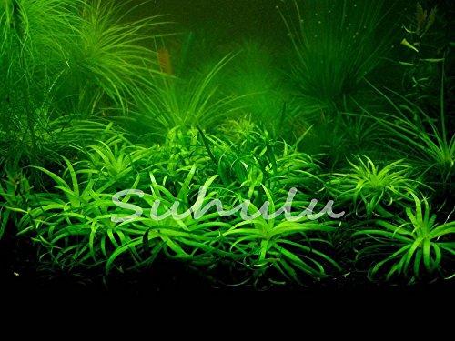 400 pcs/sac aquarium graines de plantes aquatiques Graminées au hasard pour les plantes aquatiques Semences à gazon intérieur Embellir Graines de plantes