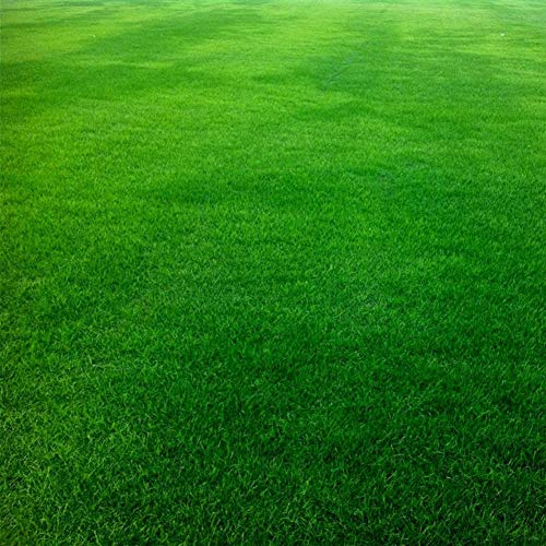 Festuca Arundinacea Samen, KimcHisxXv 10000Pcs Samen Soccer Field Golfplatz Rasen Gras Dekor - Festuca Arundinacea Samen