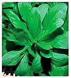 Semillas de valeriana - verduras - valerianella locusta...