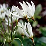 Plant World Seeds - Dodecatheon Meadia Album Seeds