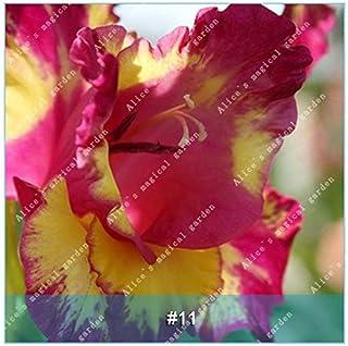GEOPONICS Semillas: ZLKING 1 PC 15 tipos de bulbo gladiolo flor no Gladiolo fresco de alta germinación Tasa fácil de cultivar orquídeas Bonsai: 11