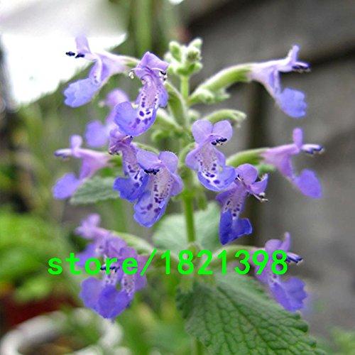 Plante Parfum menthe Graines de légumes balcon en pot Menthe Graines plantes aromatique Taux de germination 98% Menthe Graines 200 pcs