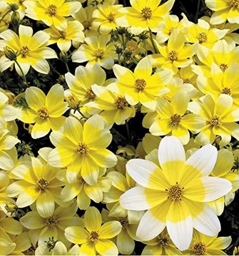 AIMADO Samen-30 Pcs seltene Samen Bidens 'Taka Tuka',sternförmigen Blüten bienenfreundliche Blumensamen, Ein fröhlicher Lichtblick für Balkon, Terrasse und Garten