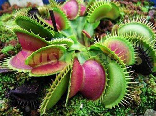 1bag = 100 pcs Dionée Cordyceps de semences graines magi bizarre Graines insectivores plantes de maison et de jardin de plantation