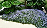 10 x Isotoma fluviatilis (Winterhart/Staude/Bodendecker) Blauer Bubikopf Gaudich ab 1,99 € pro...