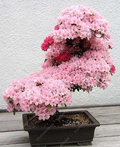 10PCS rares fleurs de bonsaïs graines de fleurs de cerisier sakura arbre graines de fleurs de cerisier bonsaïs pour la maison et le jardin blanc