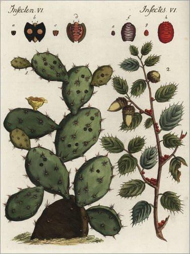 Posterlounge Hartschaumbild 60 x 80 cm: Cochenillen Kaktus und Kermeseiche von Fotofinder.com