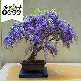 CROSO HIGH Germination Seeds ONLY NOT Plants: Seed Wisteria - Bolusanthus Speciosus (20 Bonsai Seeds)