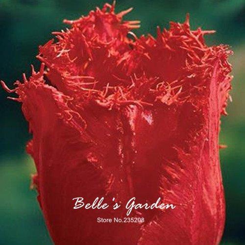 5pcs Rare Bonsai Red Tulip Bulbes de fleur de tulipe Tulipa 'Crystal Beauty' jardin en pot Plantes vivaces bulbes