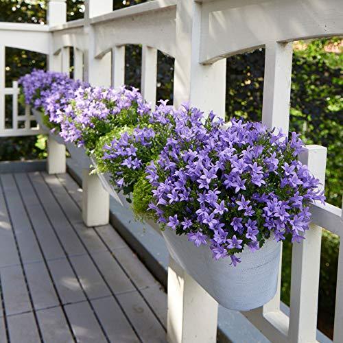 Campanula poscharskyana | Glockenblume lila | Höhe 25-30cm | Topf-Ø10,5cm