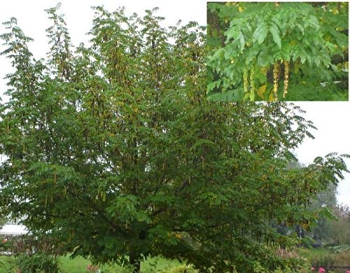 Betula utilis Doorenbos - Weißrindige Himalayabirke