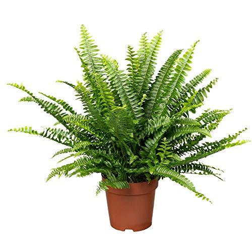 Florado Schwertfarn 'Green Lady', Farn Nephrolepis, echte Zimmerpflanze, Pflanze, Topfgröße 12cm
