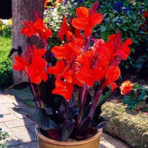 2 Stücke Canna Lily Zwiebeln Schöne seltene Sorte rote Blume Canna Lily mehrjährige Blumen Gartendekoration Fensterbank Balkon Pflanzen