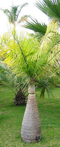 Flaschenpalme Hyophorbe lagenicaulis Pflanze 15-20cm Fasspalme Palme Rarität