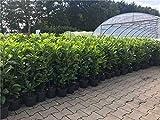 Kirschlorbeer Heckenpflanzen immergrün Sichtschutz Prunus lauroc.'Novita' im Topf gewachsen 60-80cm (10 Stück)