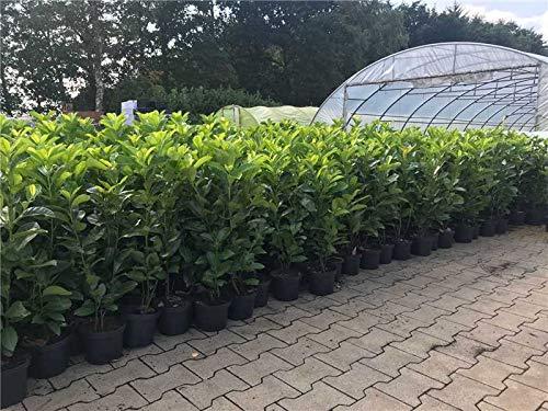 Kirschlorbeer Heckenpflanzen immergrün Sichtschutz Prunus lauroc.'Novita' im Topf gewachsen 40-60cm (20 Stück)