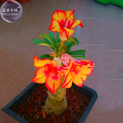 New Adenium Fire Orange Petals with Fire Red Stripes & Edge Flower 2+ Seeds