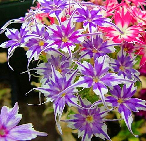 Sumpf frisch 100 Stück Phlox Drummondii Cuspidata Blume SAMEN zum Pflanzen Gemischt 2