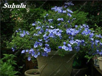 50 Pcs Arabis Alpina neige Graines de pointe extrême froid résistant jardin Bonsai Rare Belle plante et mur fleur Arabette 13