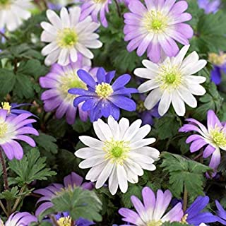 ANVIN Seeds Package: X Humphreys Garden Anemone Blanda Mixed Corms.Pretty Mixed Flowers