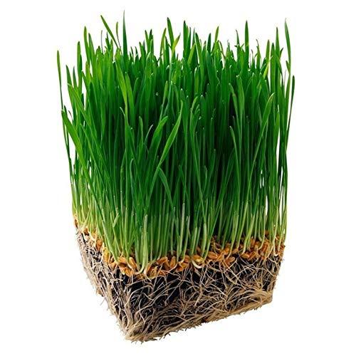 good001 100Pcs O 600Pcs / Bolsa Semillas De Hierba Gatera Fácil De Plantar No Gmo Natural Pet Creative Cat Grass Seeds Para Home Yard Easy Gardening 600 piezas de semillas de hierba de gato