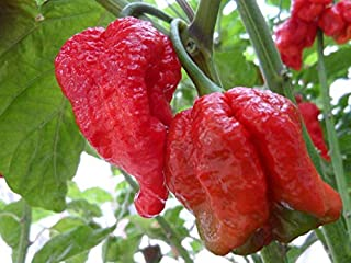 Risala Trinidad Scorpion Butch T Hot Pepper Organic Non-GMO 12 Seeds