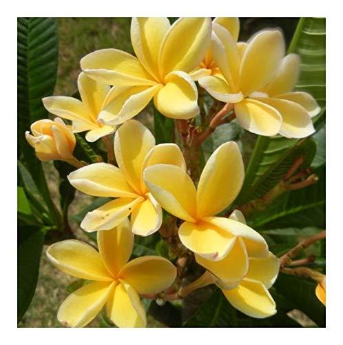 Plumeria Bali Gold - Frangipani - Wachsblume Bali Gold - 3 Samen