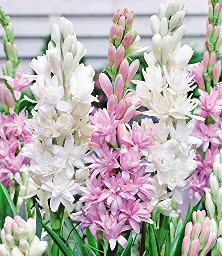 Tuberose zwiebel,Mehrjähriges Kraut,Blüht das ganze Jahr über,Seltene Pflanze,Gartenblühende Pflanze,Reichhaltiger Duft-5Zwiebeln,b