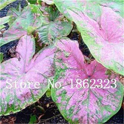 GEOPONICS SEEDS: Verkauf! 100 Stück Caladium Bonsai Caladium Blumen Bonsai Zimmerpflanzen Bonsai Colocasia Anlage für Hausgarten-Topfpflanze: 5