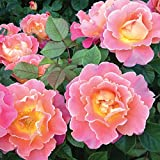 Own-Root One Gallon Fruity Petals Climbing Rose by Heirloom Roses
