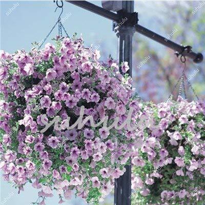 Kalash Neue 100 PC Petunia Blumensamen für Garten Licht violett