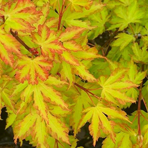 Gardening Express | Acer palmatum Annie Irene | Japanese Maple | Deciduous