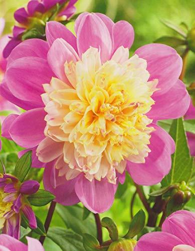 Anemonenblütige Dahlie Take Off Knolle Blumenzwiebeln (1 Knolle)