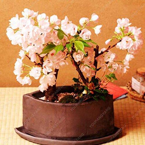 20 pcs/sac Graines Sakura japonais, Bonsai Fleur de cerisier Livraison gratuite ornement-Plante vivace Fleurs blanches Jardin