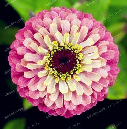 100PCS Zinnia Graines rares Variété chaleur Tolerant Jardin Fleur Plantes à fleurs en pot Charme chinois Fleurs Graines culture facile 14