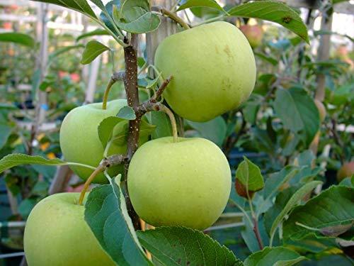 Golden Delicious, Apfelbaum, Buschbaum (kleinbleibend), 100-120cm im Topf