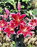 GARTHWAITE NURSERIES® : - 6 Stargazer Oriental Lily Bulbs Red/White Highly Fragrant Garden Perennial