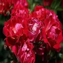 Drift Red Rose Shrub Plants