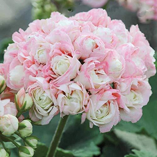 Qulista Samenhaus - 10pcs England Stehende Geranie 'Appleblossom' Balkonpflanzen Blumensamen winterhart mehrjährig, Hit in Balkonkästen, Kübeln und Beeten