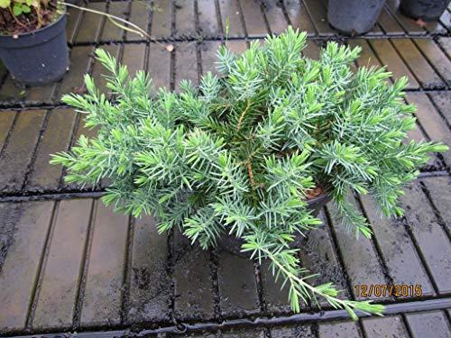 Juniperus conferta Blue Pacific - Kriechwacholder Blue Pacific