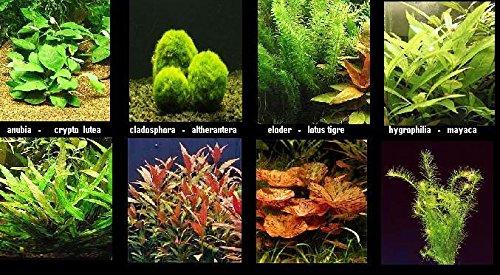 plante Lot de 10 en Bouquets 5 varietes + 1 cladosphora