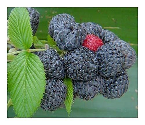 Rubus niveus - Framboise de Mysore - 10 graines