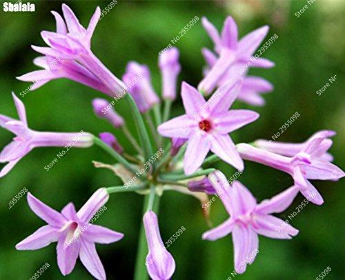 60pcs/bag Rare Tulbaghia Violacea Samen Indoor Non-GMO Knoblauch-Gemüse Bonsai Topfpflanze für Blumentopf Pflanz