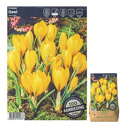 Assortiment de bulbes de fleurs dans un emballage cadeau – oignons, bulbes de différentes plantes résistantes à l'hiver pour jardin et balcon – Multicolore, pour pot et parterre (100 Crocus jaune)