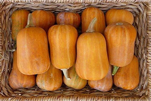 Potseed Keimfutter: 40+ Seeds: Squash Seed: Honeynut Winter-Kürbis-Samen Frische Samen Freies Verschiffen !!!