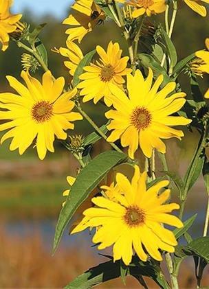 Maximilian Sunflower (Helianthus maximiliani), Seed Packet, True Native Seed
