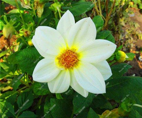 Double Dahlia Seed Mini Mary Fleurs Graines Bonsai Plante en pot bricolage jardin odorant Fleur, croissance naturelle de haute qualité 50 Pcs 20